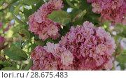 Купить «Flowering bushes in the rose garden, Botanical garden near greenhouse», видеоролик № 28675483, снято 7 июня 2018 г. (c) Ирина Мойсеева / Фотобанк Лори