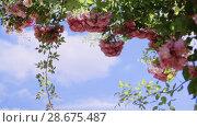 Купить «Flowering bushes in the rosarium on the sky background, Botanical garden», видеоролик № 28675487, снято 7 июня 2018 г. (c) Ирина Мойсеева / Фотобанк Лори