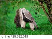 Antbear. Стоковое фото, фотограф Tierfotoagentur / M. Zindl / age Fotostock / Фотобанк Лори