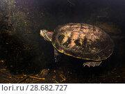 Купить «Freshwater terrapin (Trachemys scripta elegans) in a garden pond. Dauin, Dumaguete, Negros, Philippines.», фото № 28682727, снято 23 июля 2018 г. (c) Nature Picture Library / Фотобанк Лори