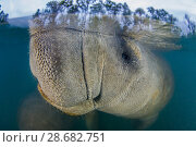 Купить «Long exposure of a Florida manatee (Trichechus manatus latirostris) breathing at the surface, split level with trees. Three Sisters Spring, Crystal River, Florida, USA», фото № 28682751, снято 21 июля 2018 г. (c) Nature Picture Library / Фотобанк Лори