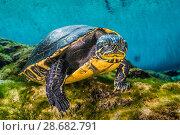 Купить «Suwanee freshwater turtle (Pseudemys concinna suwanniensis) swimming beneath trees in a freshwater spring. Devil Spring, Ginnie Springs, High Springs, Florida, USA», фото № 28682791, снято 23 июля 2018 г. (c) Nature Picture Library / Фотобанк Лори