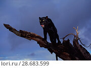 Black panther / melanistic Leopard (Panthera pardus) standing on dead tree, captive. Non-ex. Стоковое фото, фотограф Andy Rouse / Nature Picture Library / Фотобанк Лори