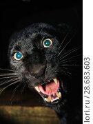 Купить «Black panther / melanistic Leopard (Panthera pardus) snarling. Captive. Non-ex», фото № 28683603, снято 17 июля 2018 г. (c) Nature Picture Library / Фотобанк Лори