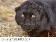 Купить «Black panther / melanistic Leopard (Panthera pardus) portrait. captive.», фото № 28683607, снято 17 июля 2018 г. (c) Nature Picture Library / Фотобанк Лори
