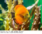 Купить «Желтая рыбка дискус плавает в аквариуме», фото № 28696027, снято 31 мая 2018 г. (c) Наталья Волкова / Фотобанк Лори