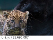 Купить «RF - Black panther / melanistic Leopard (Panthera pardus) female with normal spotted cubs,  captive.», фото № 28696087, снято 22 июля 2018 г. (c) Nature Picture Library / Фотобанк Лори