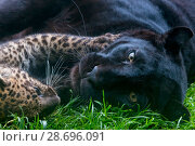Купить «Black panther / melanistic Leopard (Panthera pardus) female resting with normal spotted cub, captive.», фото № 28696091, снято 18 сентября 2018 г. (c) Nature Picture Library / Фотобанк Лори