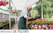 Купить «Elderly man florist working in sunny greenhouse full of flowers», видеоролик № 28702683, снято 29 июня 2018 г. (c) Яков Филимонов / Фотобанк Лори