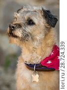 Купить «Border terrier wearing bandanna on collar Wiltshire, UK», фото № 28724339, снято 18 июля 2018 г. (c) Nature Picture Library / Фотобанк Лори