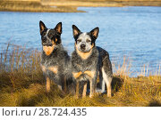 Купить «American cattle dogs on estuarine shoreline, Connecticut, USA.», фото № 28724435, снято 17 февраля 2019 г. (c) Nature Picture Library / Фотобанк Лори