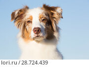 Купить «Australian Shepherd portrait,  Connecticut, USA.», фото № 28724439, снято 18 апреля 2019 г. (c) Nature Picture Library / Фотобанк Лори