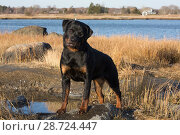 Rottweiler, 7-month female, on shore of Long Island Sound, Guilford, Connecticut, USA. Стоковое фото, фотограф Lynn M. Stone / Nature Picture Library / Фотобанк Лори