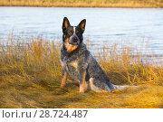 Купить «American Cattle Dog on estuarine shoreline, Guilford, Connecticut, USA.», фото № 28724487, снято 18 апреля 2019 г. (c) Nature Picture Library / Фотобанк Лори