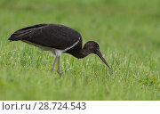 Купить «Black stork (Ciconia nigra), juvenile catching a worm, Finland, September», фото № 28724543, снято 21 августа 2018 г. (c) Nature Picture Library / Фотобанк Лори