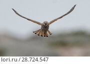 Купить «Kestrel (Falco tinnunculus),  hovering, Finland, September», фото № 28724547, снято 18 июля 2018 г. (c) Nature Picture Library / Фотобанк Лори