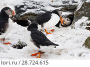 Купить «Atlantic puffin (Fratercula arctica) in nest burrow. Hornoya birdcliff, Vardo, Norway. March», фото № 28724615, снято 17 июля 2018 г. (c) Nature Picture Library / Фотобанк Лори
