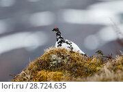 Купить «Rock ptarmigan (Lagopus muta) pair, Tromso. Norway. June.», фото № 28724635, снято 18 июля 2018 г. (c) Nature Picture Library / Фотобанк Лори
