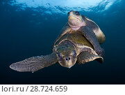 Купить «Olive Ridley turtle (Lepidochelys olivacea) mating, Huatulco National Park, Oaxaca state, southern Mexico, IUCN Vulnerable, August», фото № 28724659, снято 23 июля 2018 г. (c) Nature Picture Library / Фотобанк Лори