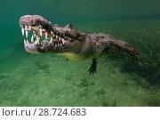 Купить «American crocodile (Crocodylus acutus), IUCN Vulnerable, Jardines de la Reina / Gardens of the Queen National Park, Caribbean Sea, Ciego de Avila, Cuba, January», фото № 28724683, снято 23 июля 2018 г. (c) Nature Picture Library / Фотобанк Лори