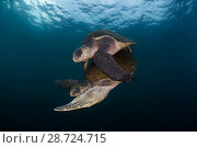 Купить «Olive ridley turtle (Lepidochelys olivacea) mating, Huatulco National Park, Oaxaca state, southern Mexico, IUCN Vulnerable, August», фото № 28724715, снято 23 июля 2018 г. (c) Nature Picture Library / Фотобанк Лори