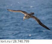 Northern Giant Petrel or Hall's Giant Petrel (Macronectes halli) soaring over the waves of the South Atlantic near South Georgia. Antarctica, Subantarctica, South Georgia, October. Стоковое фото, фотограф Martin Zwick / age Fotostock / Фотобанк Лори