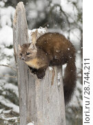Купить «American Pine Marten ( Martes americana ) in winter during snowfall, sitting on top of a broken tree, Yellowstone NP, USA..», фото № 28744211, снято 31 января 2017 г. (c) age Fotostock / Фотобанк Лори