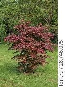 Купить «Красный клен - дерево для ландшафта», фото № 28746075, снято 30 апреля 2018 г. (c) ok_fotoday / Фотобанк Лори