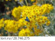 Купить «Бабочка Пестрянка на бессмертнике», фото № 28746275, снято 10 июня 2018 г. (c) Natalya Sidorova / Фотобанк Лори
