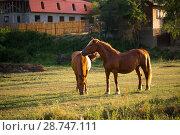 Купить «Табун лошадей в поле», фото № 28747111, снято 9 июня 2018 г. (c) Марина Володько / Фотобанк Лори