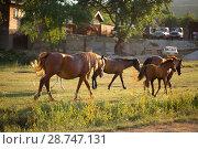 Купить «Табун лошадей в поле», фото № 28747131, снято 9 июня 2018 г. (c) Марина Володько / Фотобанк Лори