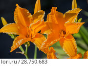 Купить «Orange-yellow daylily hemerocallis», фото № 28750683, снято 12 июля 2018 г. (c) Юлия Бабкина / Фотобанк Лори