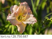 Купить «Pale pink daylily hemerocallis», фото № 28750687, снято 12 июля 2018 г. (c) Юлия Бабкина / Фотобанк Лори