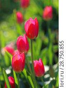 Купить «Красные тюльпаны крупным планом», фото № 28750855, снято 1 июня 2018 г. (c) Григорий Писоцкий / Фотобанк Лори
