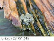 Купить «Озерная лягушка (Pelophylax ridibundus, Rana ridibunda) в сточном деревянном желобе», фото № 28751615, снято 13 июля 2018 г. (c) Ирина Носова / Фотобанк Лори