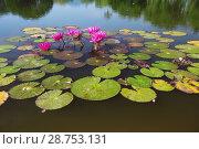 Купить «Лотосы на водной поверхности пруда», фото № 28753131, снято 21 июля 2018 г. (c) Александр Романов / Фотобанк Лори