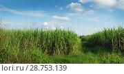 Купить «Поле сахарного тростника. Таиланд», фото № 28753139, снято 21 июля 2018 г. (c) Александр Романов / Фотобанк Лори