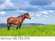 The horse is standing in the field. Стоковое фото, фотограф Konstantinp / Фотобанк Лори