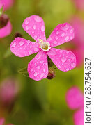 Купить «Droplets on red campion flower.», фото № 28754627, снято 10 мая 2018 г. (c) easy Fotostock / Фотобанк Лори