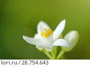 Купить «Orange blossom. Azahar. Citrus aurantiacus.», фото № 28754643, снято 21 мая 2018 г. (c) easy Fotostock / Фотобанк Лори