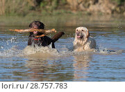 Купить «A pair of Labrador Retriever dogs-Canis lupus familiaris play. Uk.», фото № 28757783, снято 2 июня 2018 г. (c) age Fotostock / Фотобанк Лори