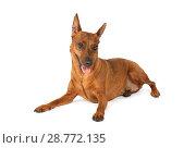 Miniature Pinscher dog lying in a studio. Стоковое фото, фотограф Алексей Кузнецов / Фотобанк Лори