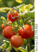 Купить «Спелые помидоры на грядке», фото № 28779903, снято 15 июля 2018 г. (c) V.Ivantsov / Фотобанк Лори