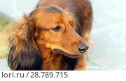 Купить «A portrait of a dog of the Dachshund breed», фото № 28789715, снято 20 августа 2017 г. (c) Акиньшин Владимир / Фотобанк Лори