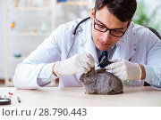 Купить «Vet doctor checking up rabbit in his clinic», фото № 28790443, снято 4 апреля 2018 г. (c) Elnur / Фотобанк Лори
