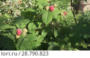Raspberries ripen on bush in the garden stock footage video. Стоковое видео, видеограф Юлия Машкова / Фотобанк Лори