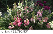 Купить «Multicolored Antirrhinum grows in garden stock footage video», видеоролик № 28790831, снято 19 июля 2018 г. (c) Юлия Машкова / Фотобанк Лори