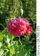 Купить «Розовый пионовидный махровый мак цветет на клумбе», фото № 28790955, снято 17 июля 2018 г. (c) Елена Коромыслова / Фотобанк Лори