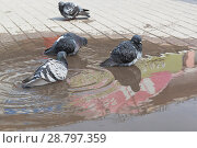 Купить «Дикие голуби купаются в луже», фото № 28797359, снято 5 мая 2018 г. (c) Николай Мухорин / Фотобанк Лори