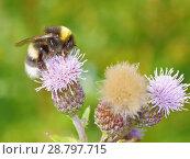 Купить «A bumblebee collects nectar from a flower», фото № 28797715, снято 16 июля 2018 г. (c) Александр Клопков / Фотобанк Лори